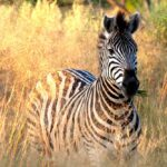 What I Learned From A Zebra - Tana Amen BSN RN