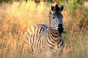 What I Learned From A Zebra - Tana Amen BSN RN